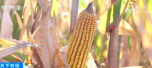 国家粮食和物资储备局:秋粮有望再获丰收 收购量将增加