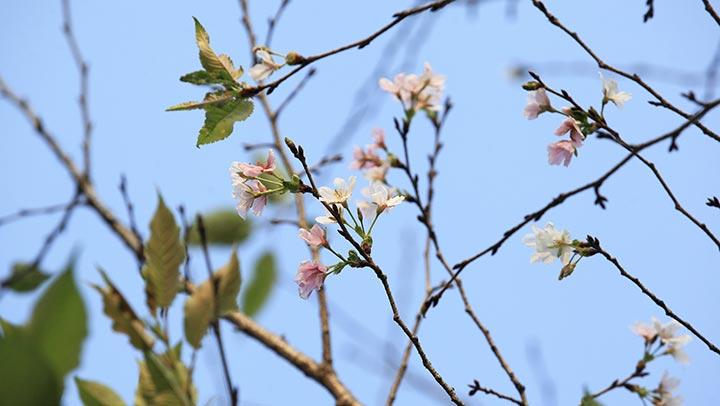 南京:温度忽高忽低 樱花反季开放
