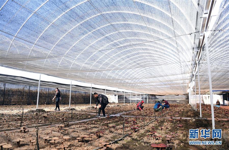 红旗村农民在温室种植大棚里采摘灵芝(4月15日摄)。新华社记者 林宏 摄