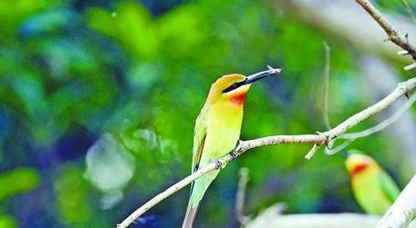 ▲栗喉蜂虎每年4月至7月从东南亚飞回厦门产卵、孵化、养育幼鸟