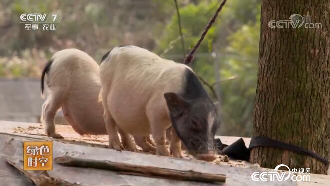 绿色时空:猪上树带来的额外收入 5月12日