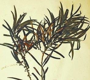 1922年采集的相思树标本。