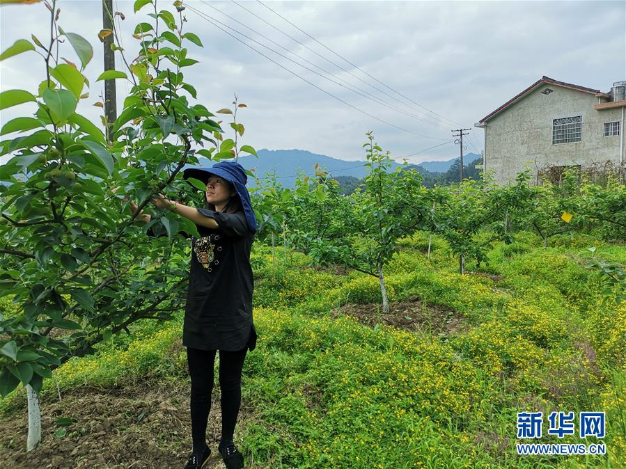 浏阳市张坊镇田溪村村民在打理自家果园(5月9日摄)。新华社记者 刘良恒 摄