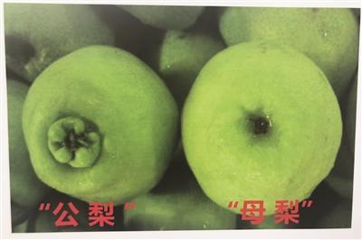 专家教你分辨 公梨和母梨