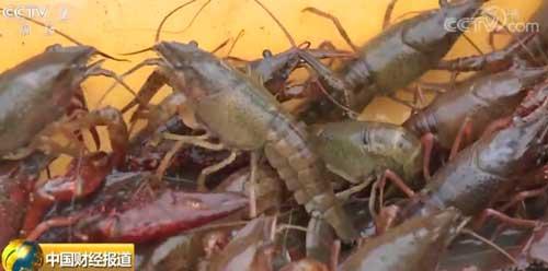 湖北监利:小龙虾价格阶段性走低 未来将回升