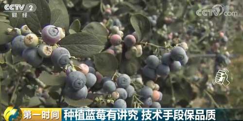 种植蓝莓有讲究 技术手段保品质