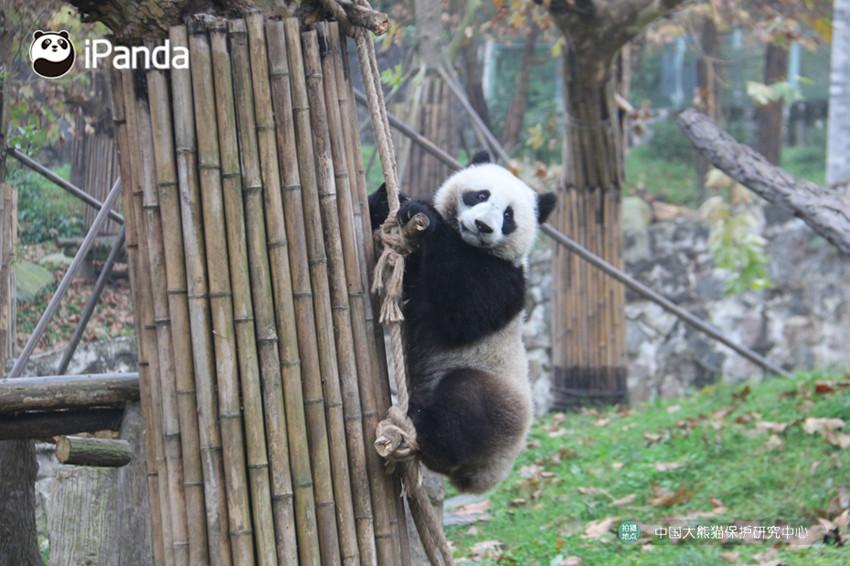 """大熊猫""""丁丁""""在惬意地玩耍"""