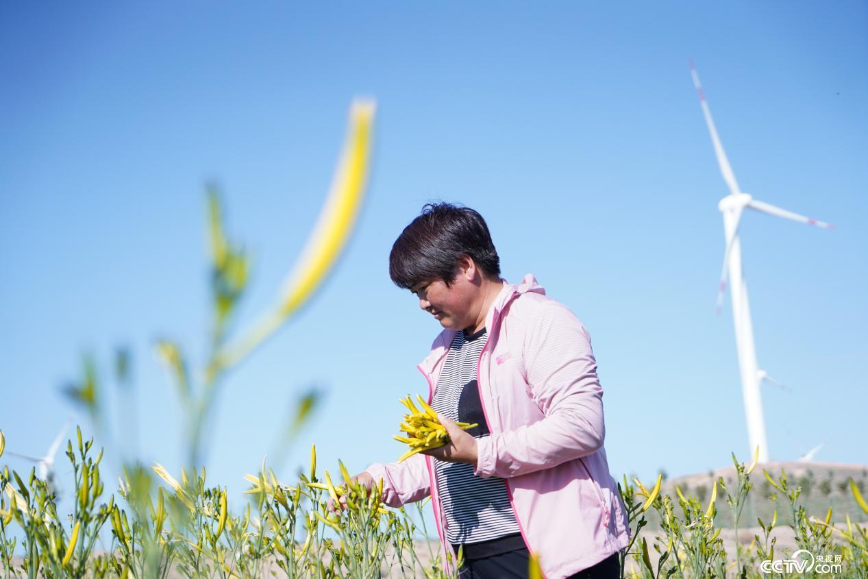 李志巧在地里采摘新鲜的黄花菜叶