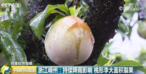 浙江嵊州:持续降雨影响 桃形李大面积裂果