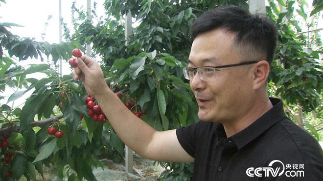 致富经:大学老师辞职种樱桃 如何年卖400万?