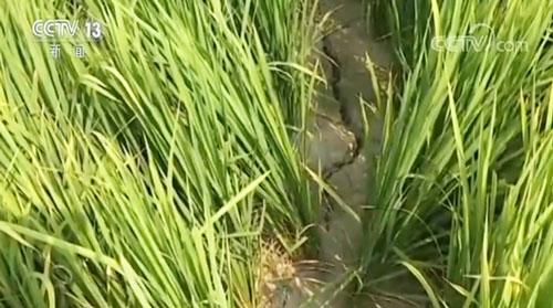 江西局地高温少雨干旱 饮水浇灌受影响