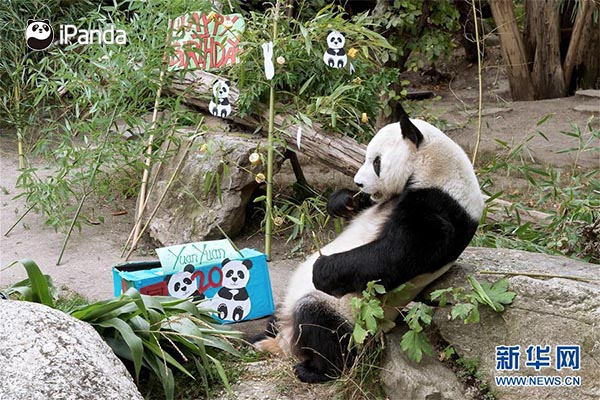 """大熊猫""""园园""""享用生日大餐"""