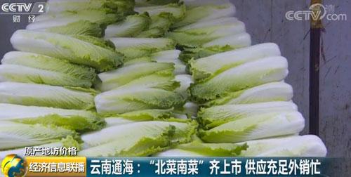 """云南通海:""""北菜南菜""""齐上市 供应充足外销忙"""
