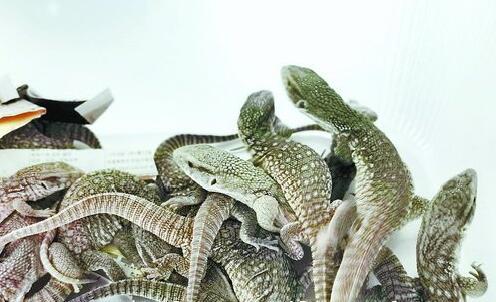 被查获的15只平原巨蜥。
