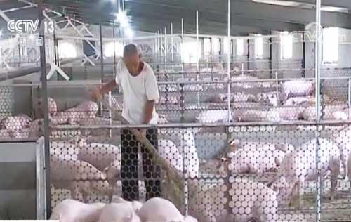 记者调查 猪肉稳产保供措施频出 养殖户信心增强 正扩大产能