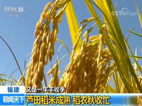 福建:芦田稻米成熟 稻农秋收忙