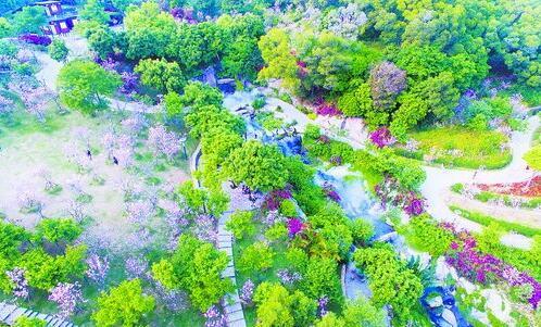 大屏山郊野公园樱花盛开,如梦如幻。(市市政园林局供图)