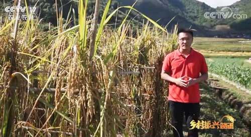 2米多高古老稻种见过吗?