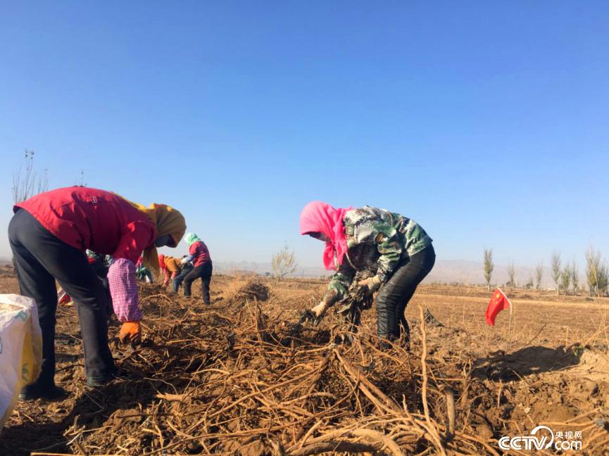 当地农户正在捡拾刚刚挖出来的甘草