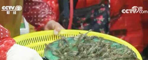 """浙江:河虾上市价格每斤超百元 成市场""""新贵"""""""