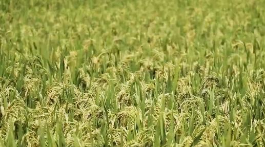 """再生稻技术+种植食用菌、蔬菜等 让冬闲田不再""""闲"""""""