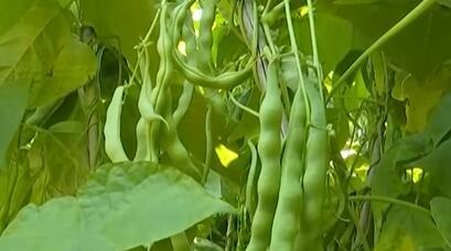 四川攀枝花1万余亩大青豆成熟上市 助农致富增收