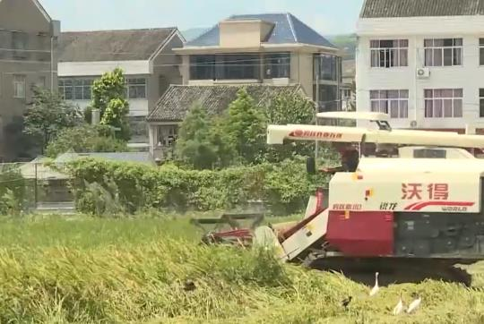 """台风""""烟花""""逼近 瑞安马屿镇抢收15000亩早稻"""