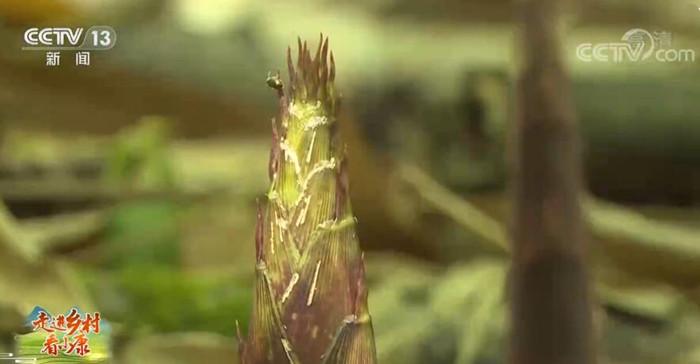 重庆南川·金佛山:万亩竹林采笋忙 生态经济双丰收
