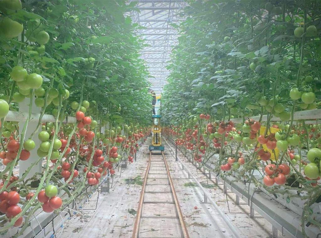 黑龙江省大庆市林甸县宏福现代农业小镇的温室植物工厂内景。(采访对象供图)
