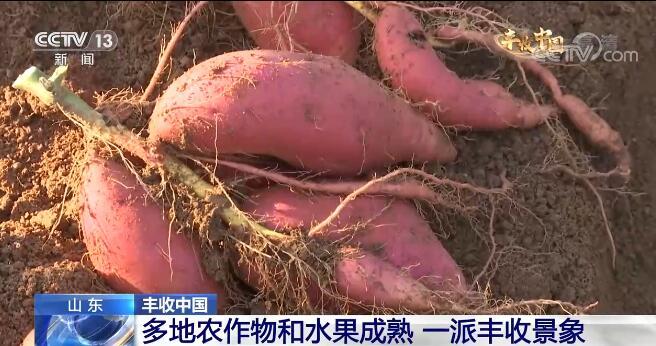 山东多地农作物和水果成熟 一派丰收景象