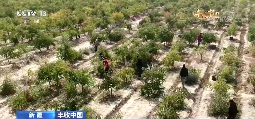 【丰收中国】新疆图木舒克:比蜜还甜 图木舒克的冬枣熟啦