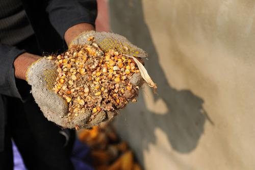 农户储粮损失达8%!设施普遍简陋,虫害霉变堪忧